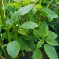 Un légume particulier: l'Amarante